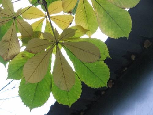 Листья каштана