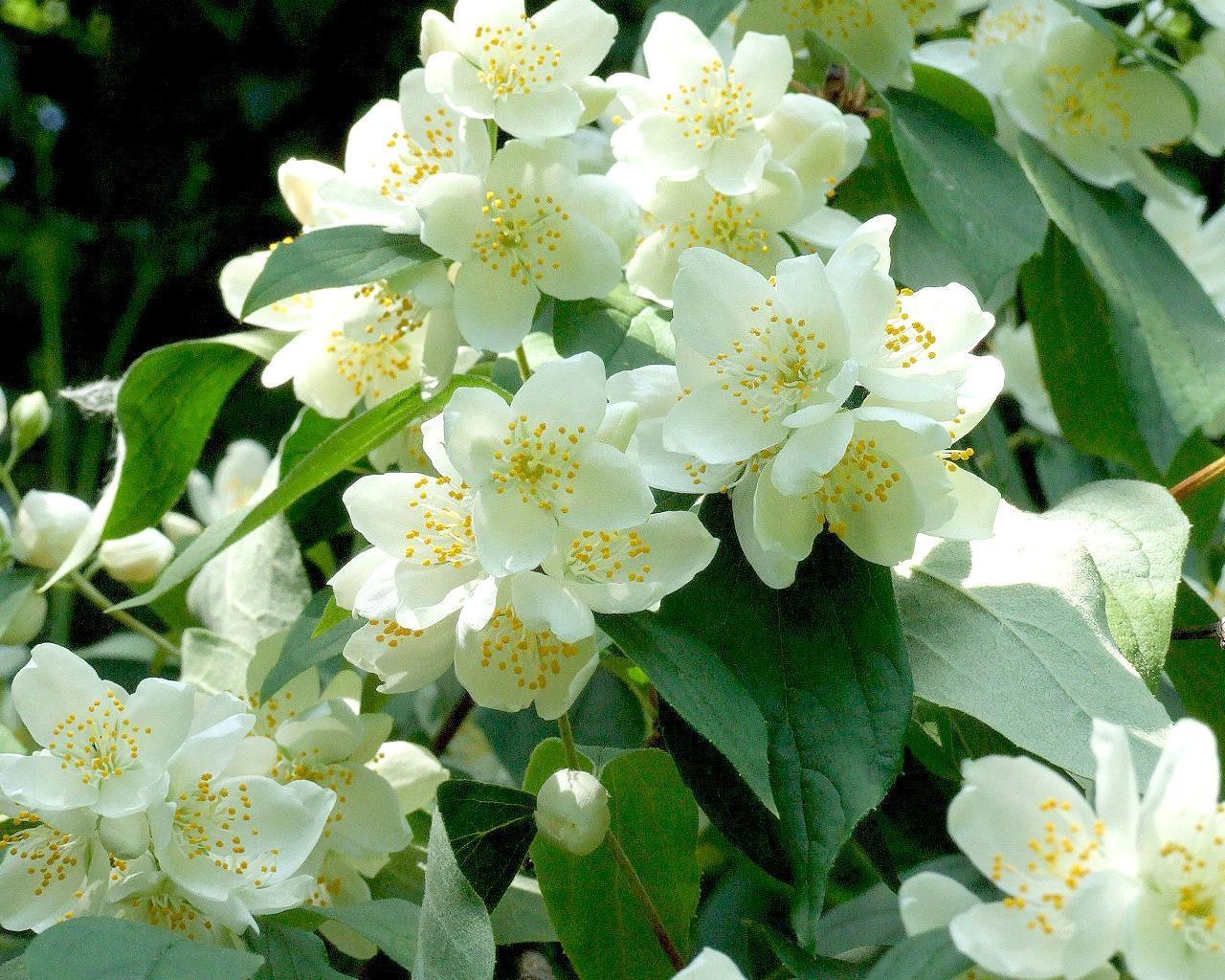 Жасмин цветок картинки